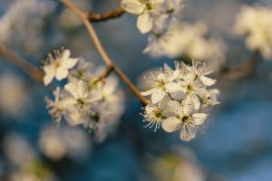 blooming-tree