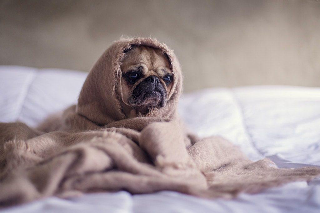 sad_pug-bored-sober