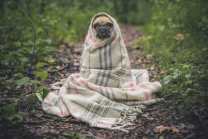 early sobriety boring pug