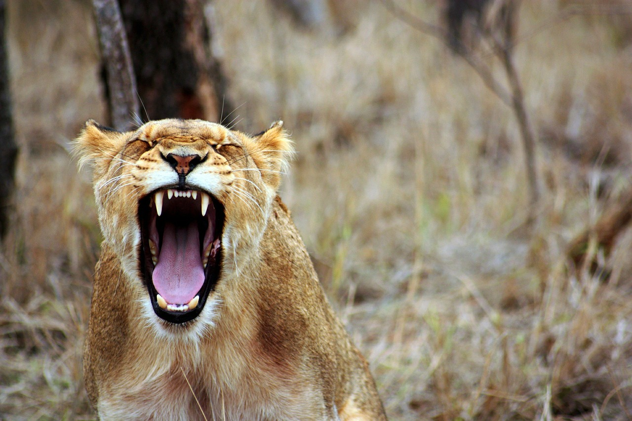 feeling angry in recovery lion roar