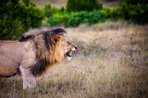 angry roaring lion the types of anger sobriety